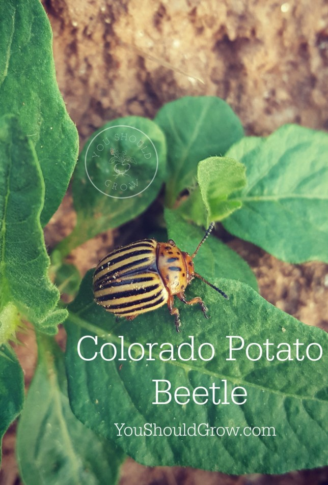 Colorado Potato Beetle adult