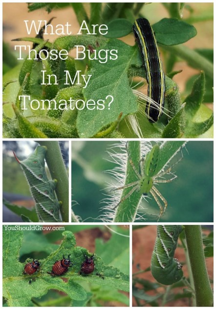 What are those bugs in my tomatoes?