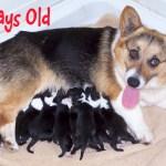 Wondering About Color Change In Corgi Pups Mycorgi Com