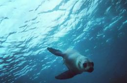 Swimming with Seals, The Dancers Of The Sea // Montague Island (NSW) Joel Johnsson, seal, underwater, blue, diving