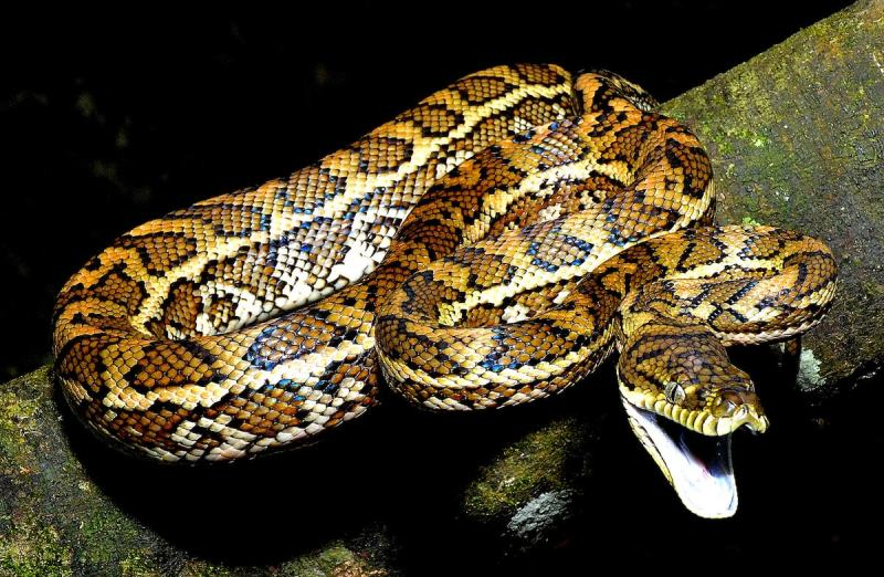 Indiana Madden-Olle, Central netted dragon (Ctenophorus nuchalis), snakes, reptiles, animals