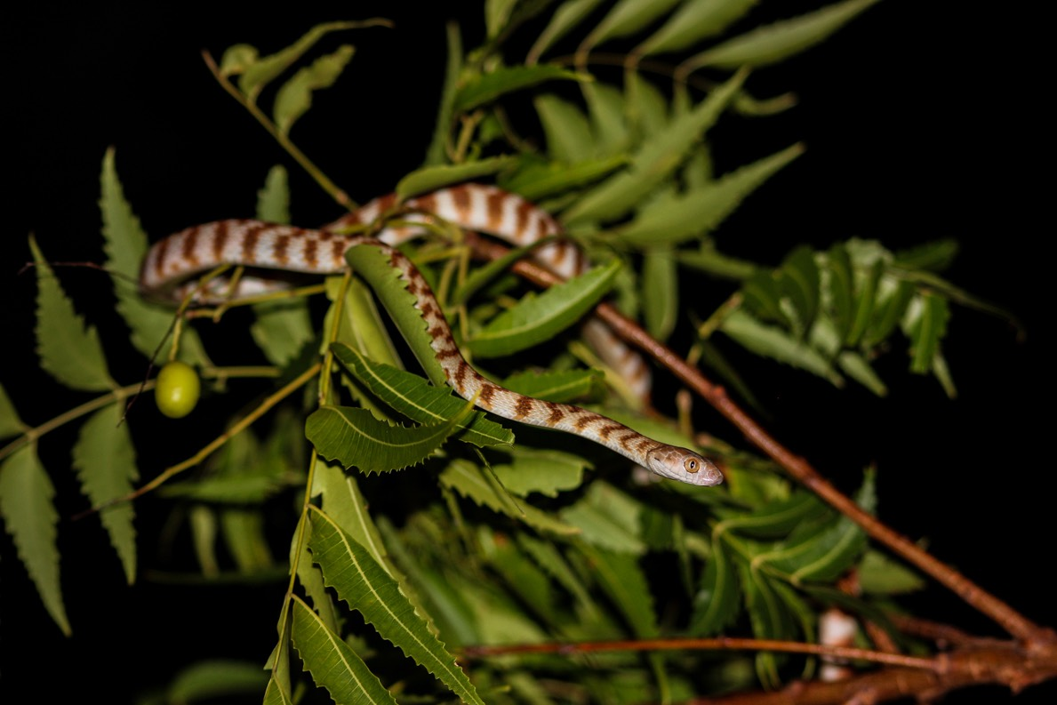 Night Tiger, dan parkes, Black Head, snake, herpetology, photography, snake spotting