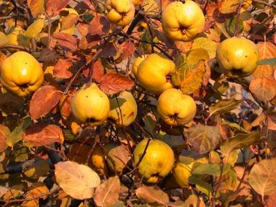Gutuia, doza de vitamine oferita in sezonul rece