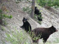 Bear family seen near Jasper Alberta