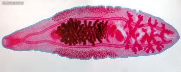 Chinese liver fluke parasite