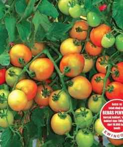 tomat TYMOTI F1