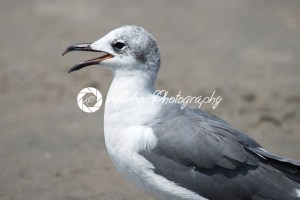 Closeup view of a Seagull on Beach - Kelleher Photography Store