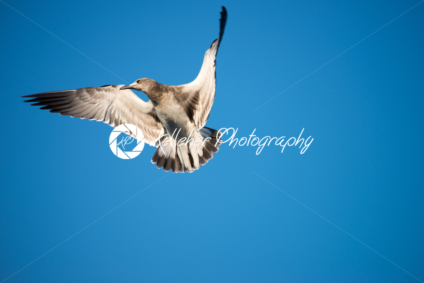 Seagull in flight against a cloudless blue sky background - Kelleher Photography Store