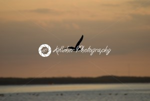 The Little Gull Larus minutus in flight on sunset natural background - Kelleher Photography Store