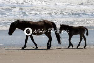 Wild horses walking along the beach in Corolla, North Carolina - Kelleher Photography Store