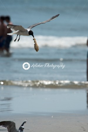 Seagull on the beach flying with food hanging out of its mouth - Kelleher Photography Store