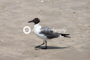 Seagull walking along on the beach - Kelleher Photography Store