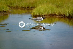 A shore bird, the Laughing Gull Leucophaeus atricilla has a call that sounds like laughter - Kelleher Photography Store