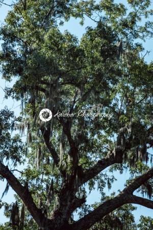 Live Oak with Spanish Moss tree in Bonaventure Cemetery Savannah Georgia - Kelleher Photography Store