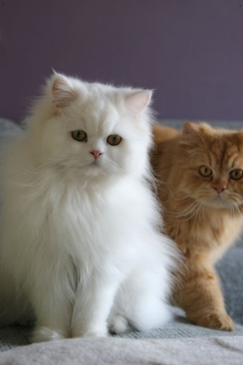 Persian Kittens at The Great Cat Store