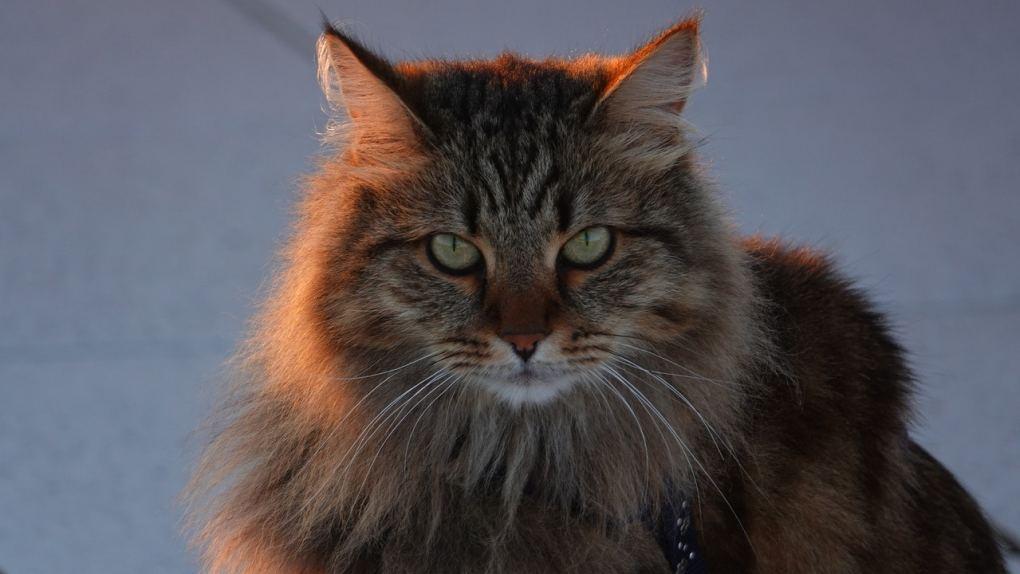 Siberian cat at The Great Cat Store-15 most popular cat breeds