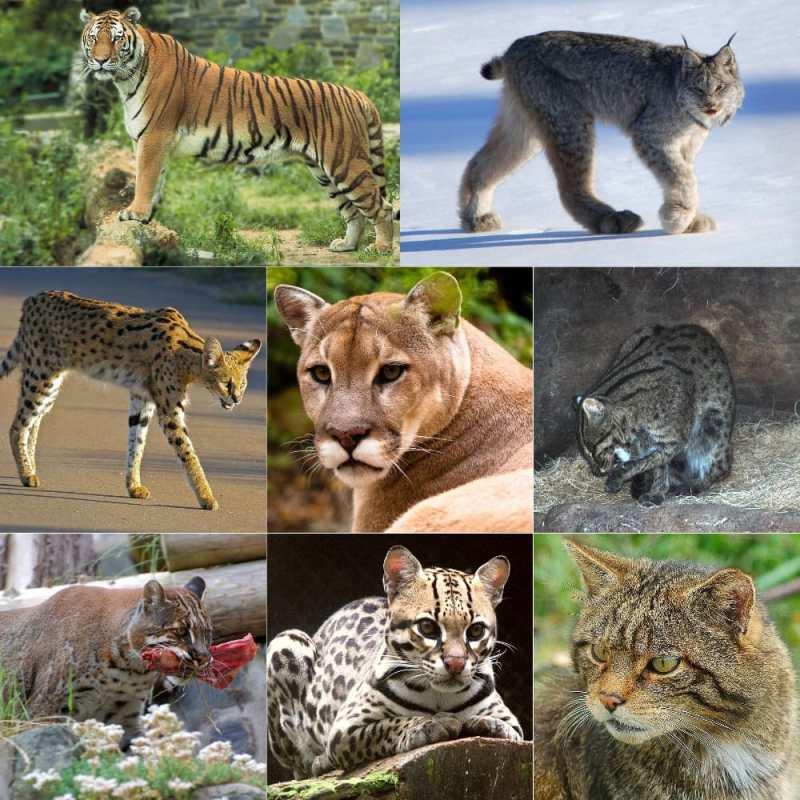cat history chart