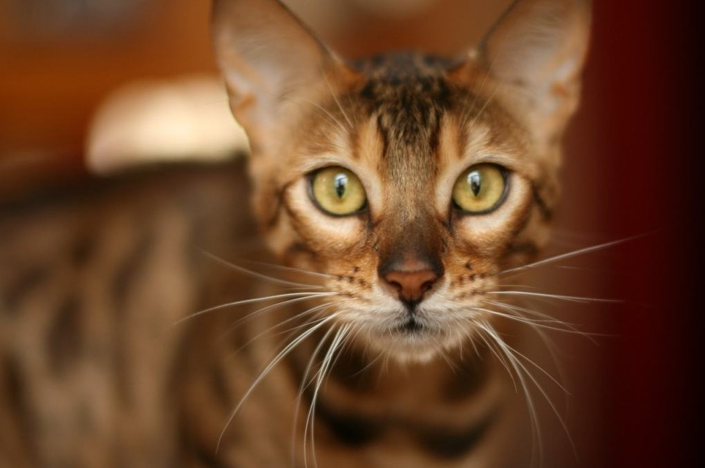 Bengal Cat at The Great Cat Store