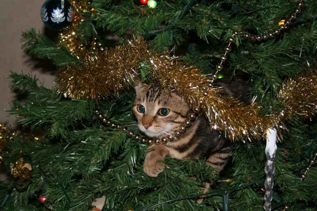 there are some things that you can do that will perhaps save your Christmas tree and your Christmas. Here are some ways to survive Christmas with a cat.