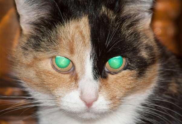tapetum-lucidum-light-retina-night-vision-cats