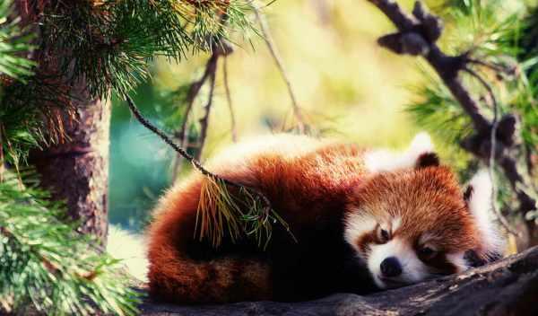 Обои панда, красная, firefox, раздел Животные, размер ...