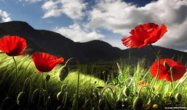 Обои и картинки маки, цветы , раздел Цветы - скачать ...
