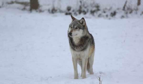 Обои волк, телефон, royalty, раздел Песочница, размер ...