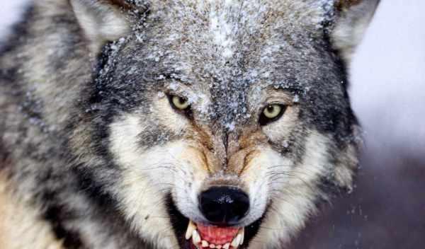 Обои красивые, волки, волков , раздел Животные, размер ...