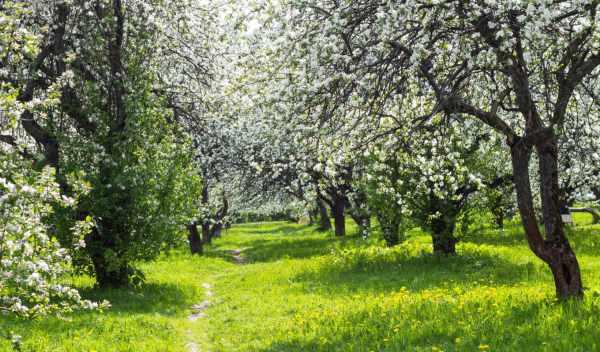 Обои цветущий, сад, весна, раздел Природа - скачать ...