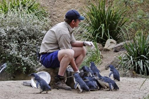 Blue penguin feeding time at Melbourne Zoo, Australia (https://en.wikipedia.org/wiki/Little_penguin)