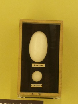 Crocodile and tortoise eggs. Nature's Library, Manchester Museum