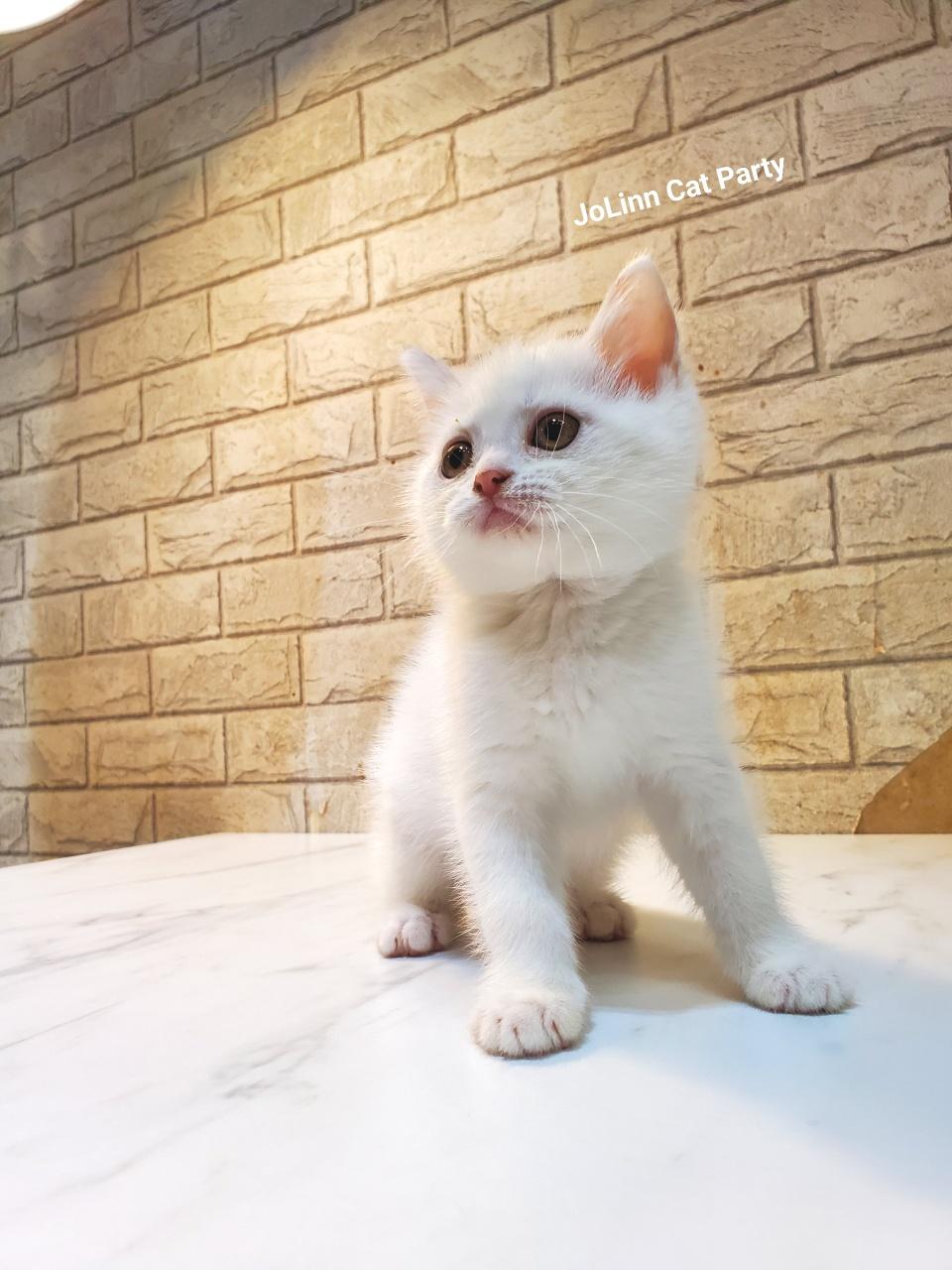 貓咪派對/白色英國短毛貓