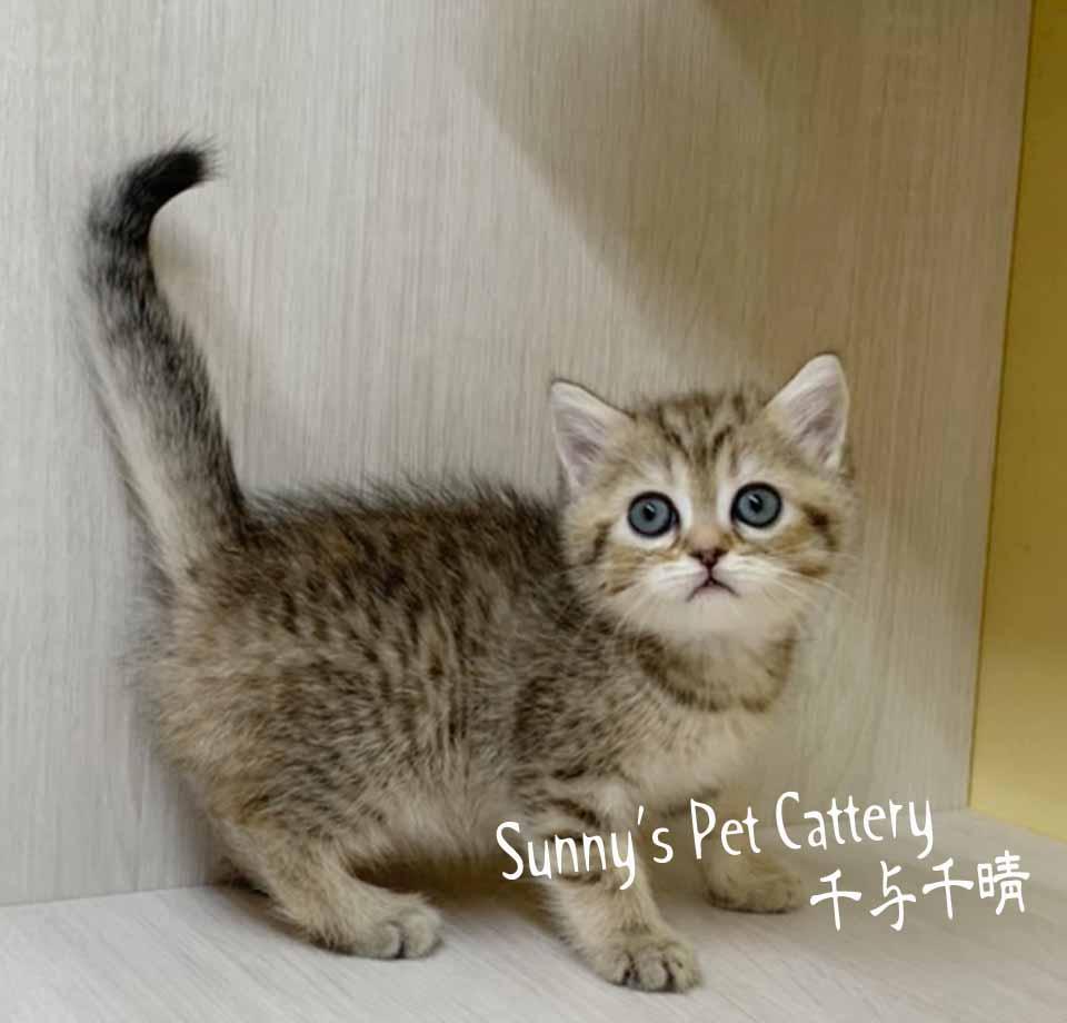 千晴寵物坊/金點漸層 英國短毛貓