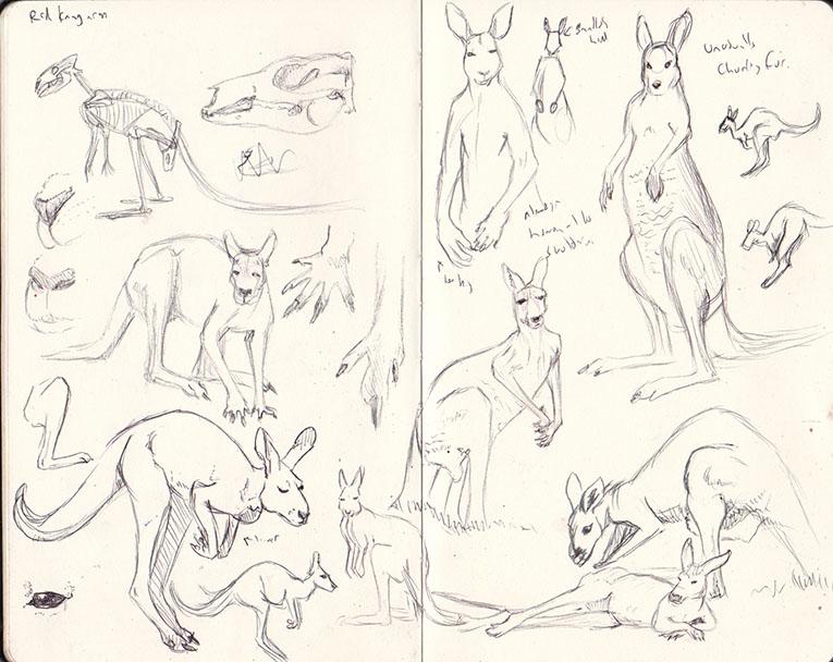 sketches of red kangaroos