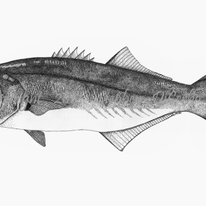 Atlantic Bluefish