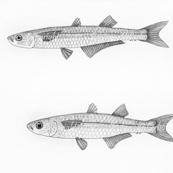 Atlantic and Waxwn silversides