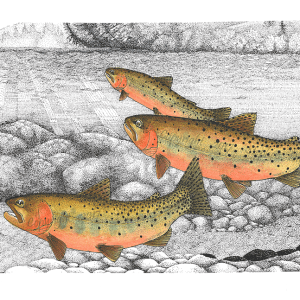 Upstream Cutthroats