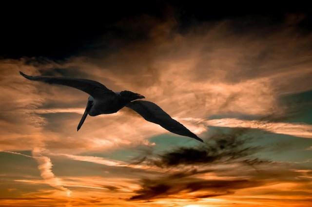 pelican-901004_1280