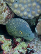 This was one of the prettiest (and smallest) moray eels we encountered