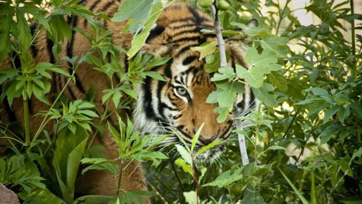 Diintai Harimau di Mulut Gua Way Babuta