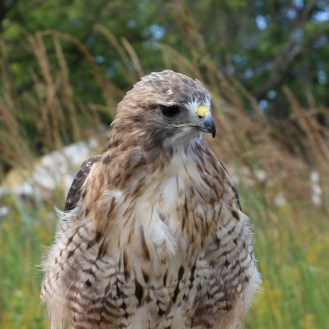 Hawk at Shaw Nature Reserve's Prairie Days