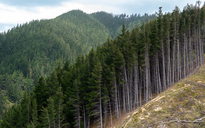 NZ pineforest