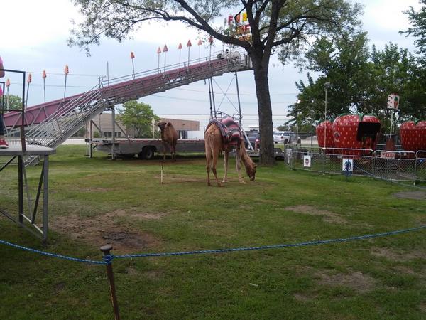 camel-rides-montana-charlies