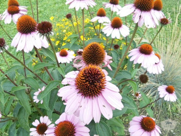 echinacea-purple-coneflower | stowandtellu.com