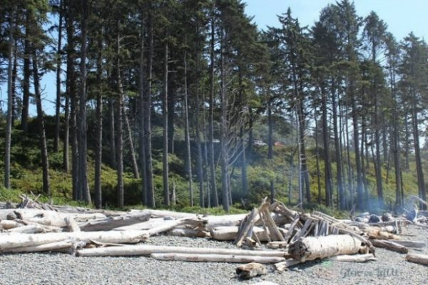 pine-tree-coast-line-washington
