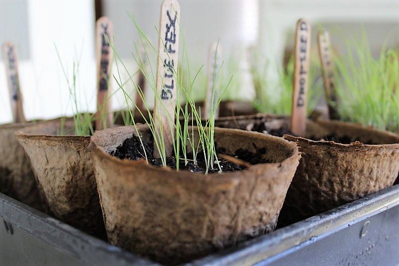 3 ways to grow ornamental grass from seed | stowandtellu