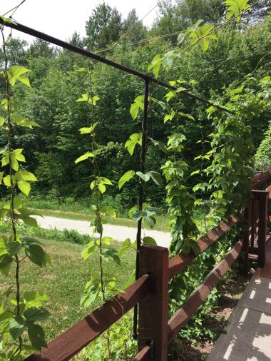 June 16, 2018 - Hop plants at Lost Nation Brewing in Morrisville, Vermont