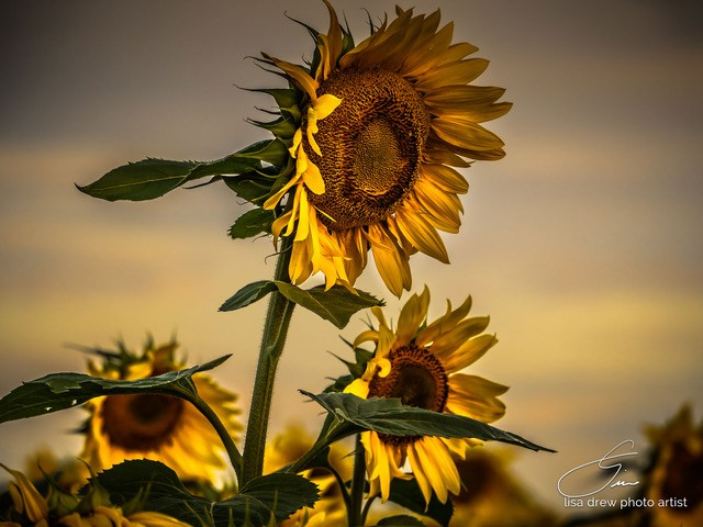 Gone with the Sunflowers - Lisa Drew photo artist