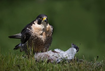 Peregrine Falcon (1)