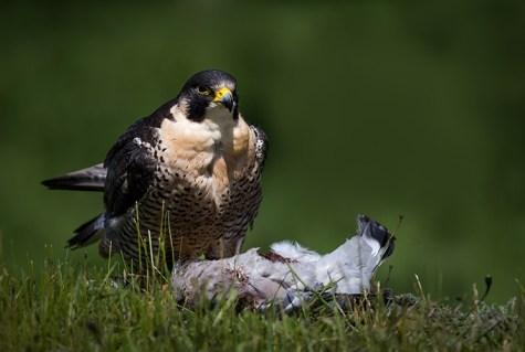 Peregrine Falcon (1) copy